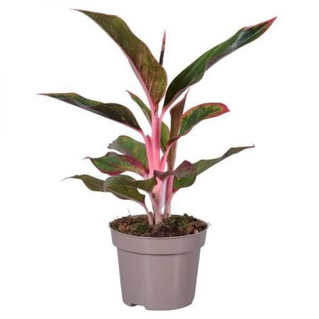 Aglaonema Light Pink Star House Plant in a 12cm Pot.  Chinese Evergreens
