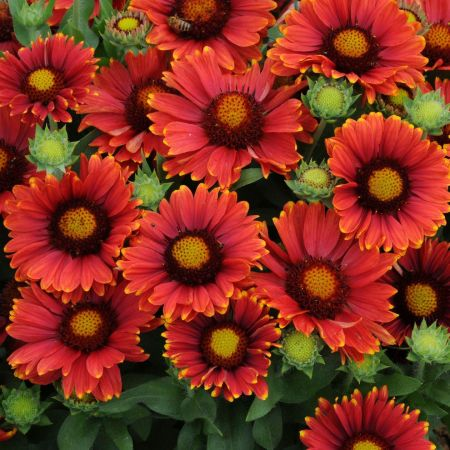Gaillardia Red Shades hardy perennial plant in a 13cm pot. Blanket flower