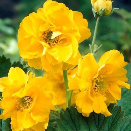 Geum Lady Stratheden perennial plant in a 13cm Pot