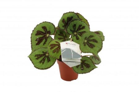 Begonia Masonia Rock Plant in a 12cm Pot