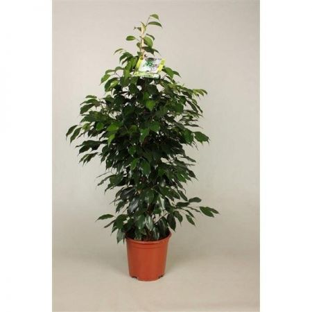 Ficus benjamina Danielle House plant in a 17cm pot Weeping fig