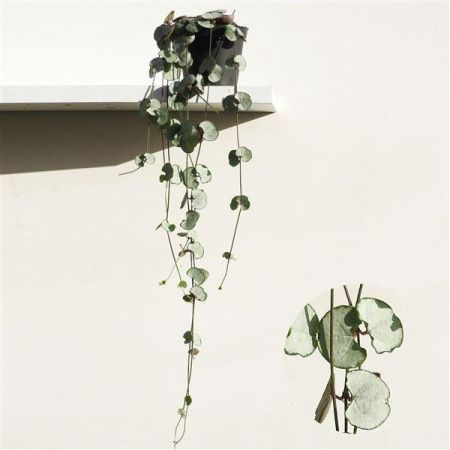 Ceropegia Woodii Silver Glory Plant Trailing Plant in a 8cm Pot. Chain of Hearts