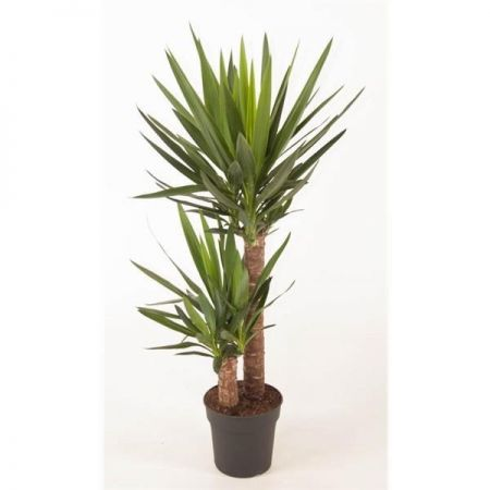 Yucca tree with 2 Stems. House or garden palnt around 95cm tall, including pot