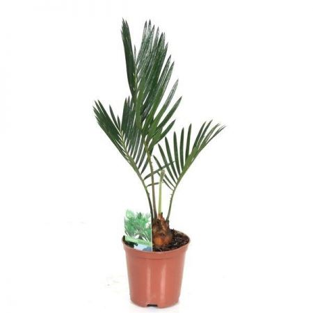 Sago Palm Cycas revoluta house plant in 9cm pot. Starter Plant