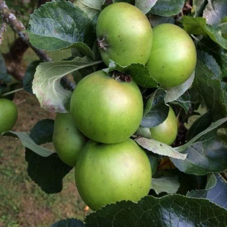 Apple (Malus) Bramley's Seedling tree in a 12 Litre Pot - Bush form - Rootstock MM106
