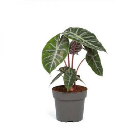 Alocasia Pink Dragon Elephant Ears House Plant in a 14cm Pot
