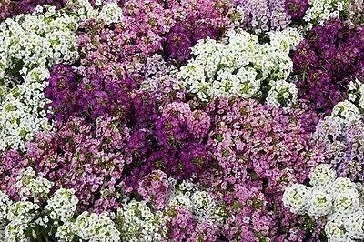 Alyssum Bedding Plants in Mixed Colours 6 Pack of Garden Ready Plants