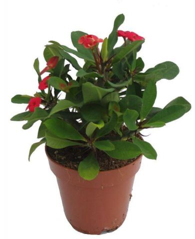 Euphorbia milii Red succulent house plant. Crown of Thorns