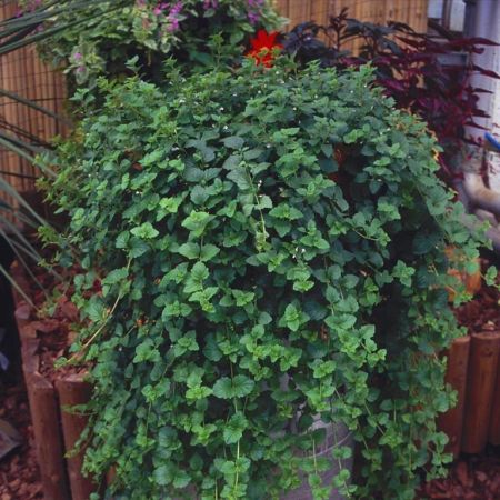 Indian Mint Trailing Plant in a 9cm Pot x 3 for Hanging Baskets.  Saturaja Douglasii