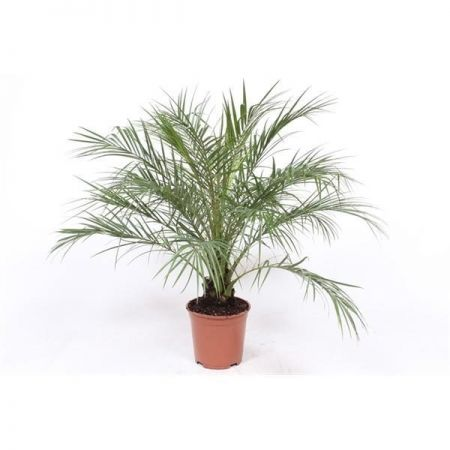 Phoenix roebelenii Pygmy Date Palm Tree in a 21cm Pot RHS AGM  110cm tall