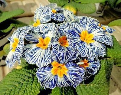 Primrose Zebra Blue plants in a 10cm pot x 3 pots. Hardy. Garden Ready Plants