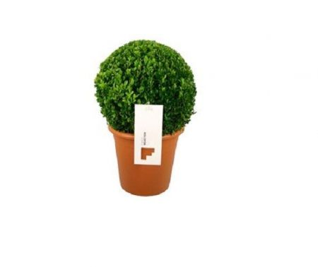 Box Ball Topiary Plant in a 19cm pot.  20cm diameter. Buxus sempervirens
