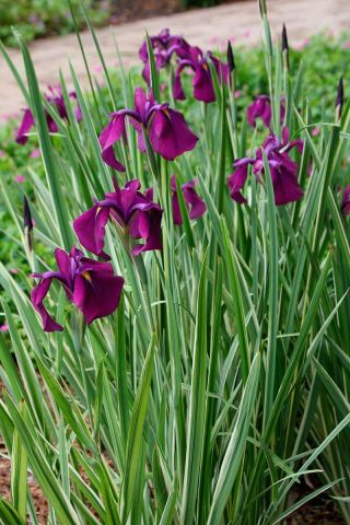 Iris ensata Variegata Perennial Plant Suitable for Ponds and Boggy areas