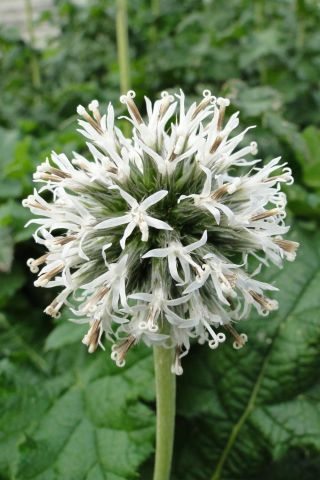 Echinops gmelinii Snow King Perennial Plants in a 17cm Pot
