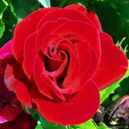 Special Occasion Rose Ruby Wedding 40th Anniversary in a 3.5 litre Pot