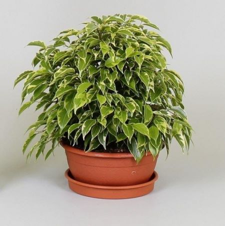 Ficus benjamina Kinky house plant in 17cm pot. Weeping fig