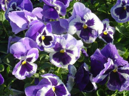 Pansy Violet White bedding plant 6 Pack Garden Ready Plants.