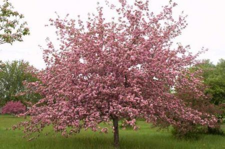 Malus brevipes Brandywine Crab apple tree in a 12 Litre Pot