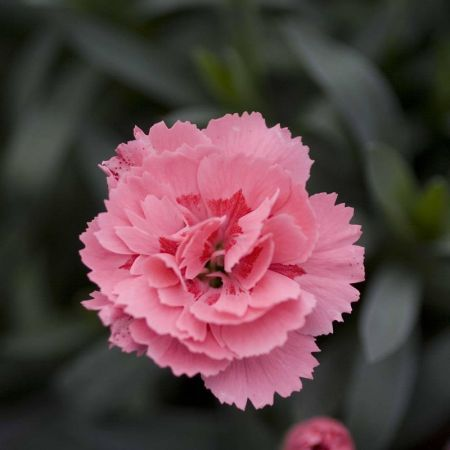 Dianthus Oscar® Pink Plant in a 9cm Pot x 3. Carnation Pinks