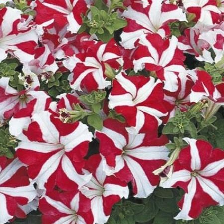 Petunia RED STAR Bedding Plant 6 Pack Garden Ready Plants