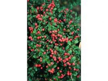 Cotoneaster x suecicus Coral Beauty Tree in an 11.5 Litre Patio pot - Top worked at 85cm