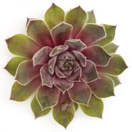 Sempervivum Chick Charms Silver Suede Plant in a 12cm pot.  Hens & Chicks