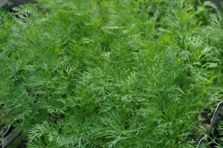 Dill Herb Plant in a 11cm Pot.