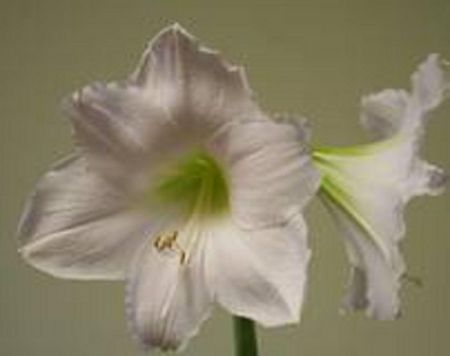 Amaryllis Snow Queen gift pack.  Amaryllis growing kit