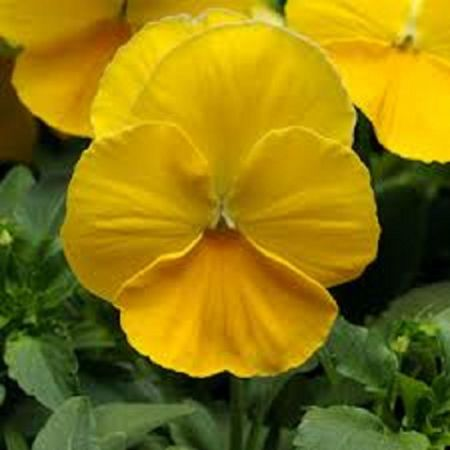Pansy Yellow Plant 6 Pack Garden Ready Plants