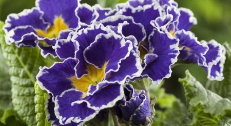 Primrose Sirococco Blue colours Plant Jumbo 6 Pack Garden Ready Plants
