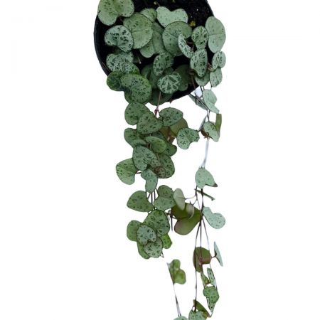 Ceropegia Woodii trailing house plant in 11cm pot. Chain of Hearts