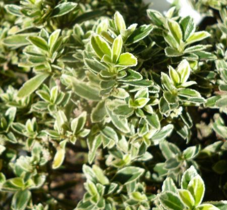 Euonymus japonicus Susan evergreen shrub in 17cm pot. Japanese spindle