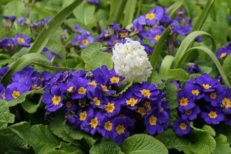 Polyanthus BLUE Bedding Plant 6 Pack Garden Ready Plants