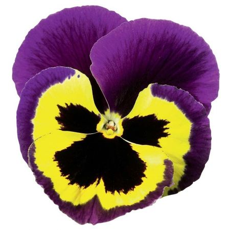 Pansy Yellow Purple Wing bedding plant 6 Pack Garden Ready Plants.