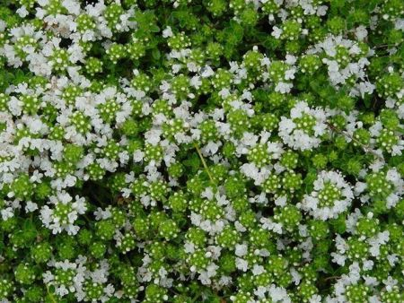 White Thyme, Thymus vulgaris. Herb plant in a 11cm pot. Groundcover and great to eat!
