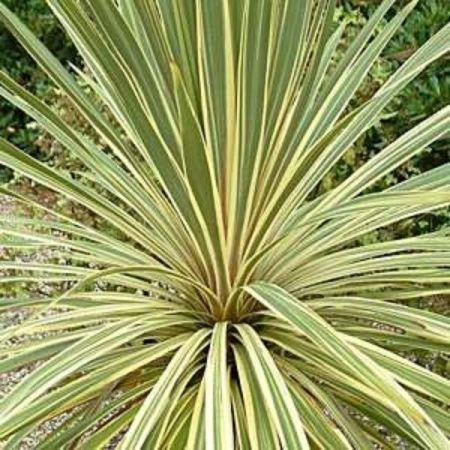 Cordyline australis Torbay Dazzler plant in a 17cm pot.  Cabbage Palm