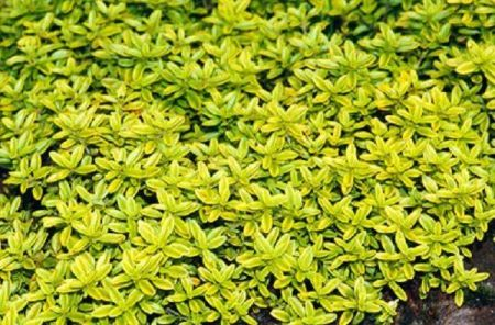 Golden Thyme  herb plant in a 11cm pot.