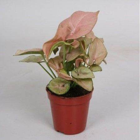 Syngonium Red Heart house plant in 5cm pot.  Unusual pink leaves.