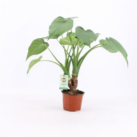 Alocasia Cucullata Exotic House Plant in a 12cm Pot.