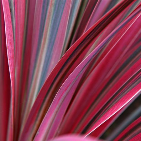 Cordyline aus. Pacific Sunrise palm-like shrub in 17cm pot. Cabbage palm