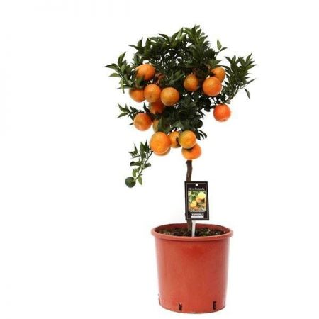 Citrus Mandarine Tree stands 85cm tall in a 22cm Pot