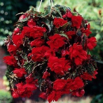 Begonia Red Giant Pendula Bulbs / corms x 3.  A favourite for hanging baskets