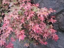 Acer pseudoplatanus Esk Sunset maple tree 12 Litre container (Top Worked at 120cm)