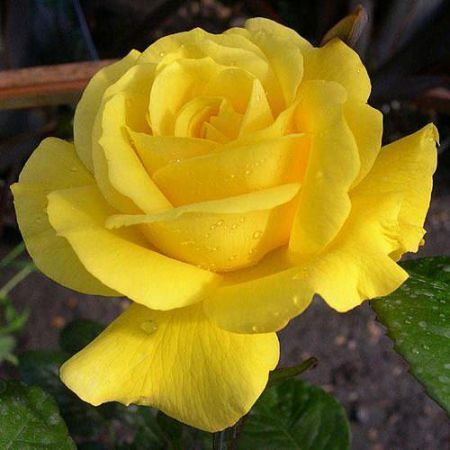 Special Occasion Golden Wedding 50th Anniversary rose in a 3.5 litre pot