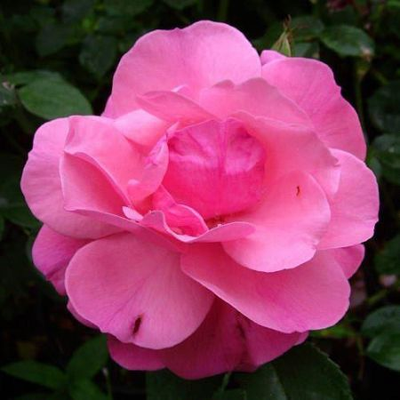 Special Occasion Rose Special Mum in a 5.5 litre Pot