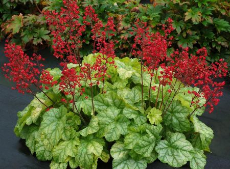 Heuchera City™ Tokyo perennial groundcover plant in 13cm pot.