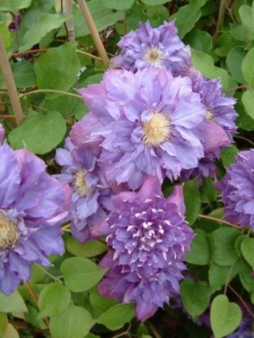 Clematis Vyvyan Pennel climber with purple flowers. Garden climbing plant in 17cm pot