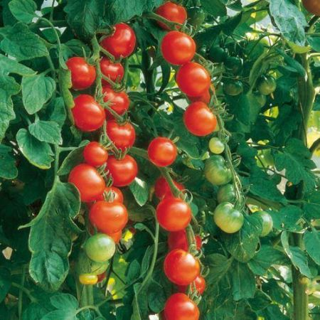 Tomato Gardeners Delight  Plants x 3 in 9cm pots.