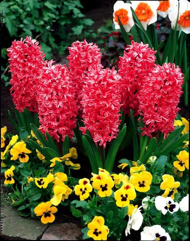 Red Hyacinth Growing in a 9cm. 3 x pots. Indoor colour and scen