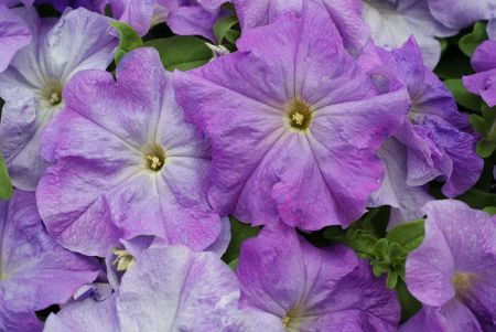 Petunia SKY BLUE Bedding Plant 6 Pack Garden Ready Plants